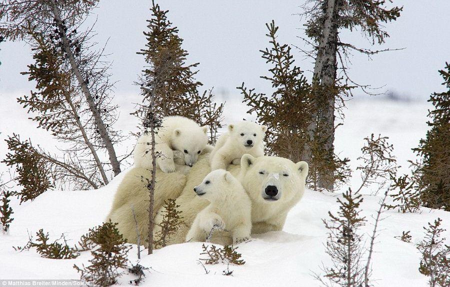 摄影师捕捉小北极熊可爱瞬间