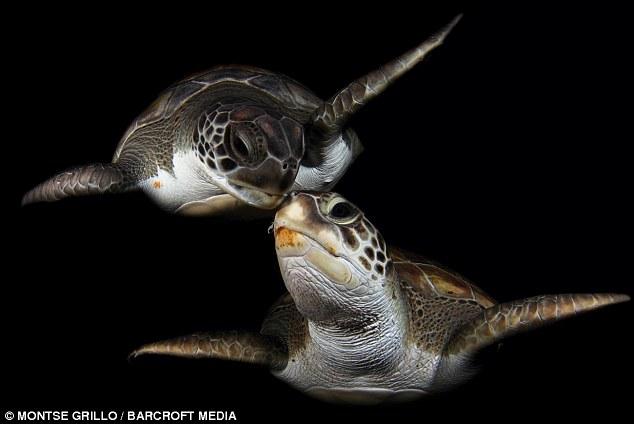 """西班牙绿海龟水下""""深情拥吻"""""""